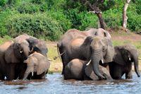 Botswana tillåter jakt på elefanter igen. Arkivbild.