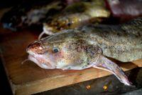 Laken är den enda torskfisken i våra stora insjöar. Nu ökar beståndet i Vättern, och SLU-forskaren Göran Sundblad rekommenderar lake för matbordet. Arkivbild.