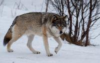 Svenska rovdjursföreningen överklagar beslutet om licensjakt på varg till Högsta förvaltningsdomstolen. Arkivbild