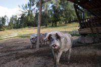 Bulgariskt svin.