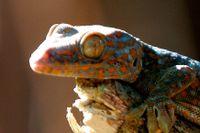 Geckoödlan har nanoplattor under sina fötter som gör de till bra klättrare.