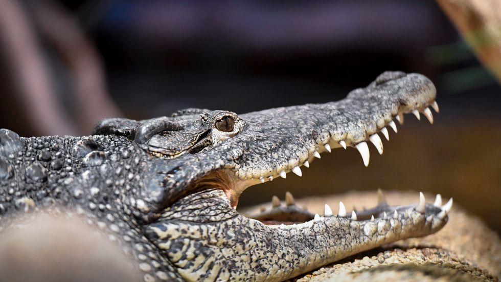 Polisen hittade mer än 800 ödlor, krokodiler och andra reptiler vid ett tillslag i Skåne. Domen väntas den 16 augusti. Arkivbild.