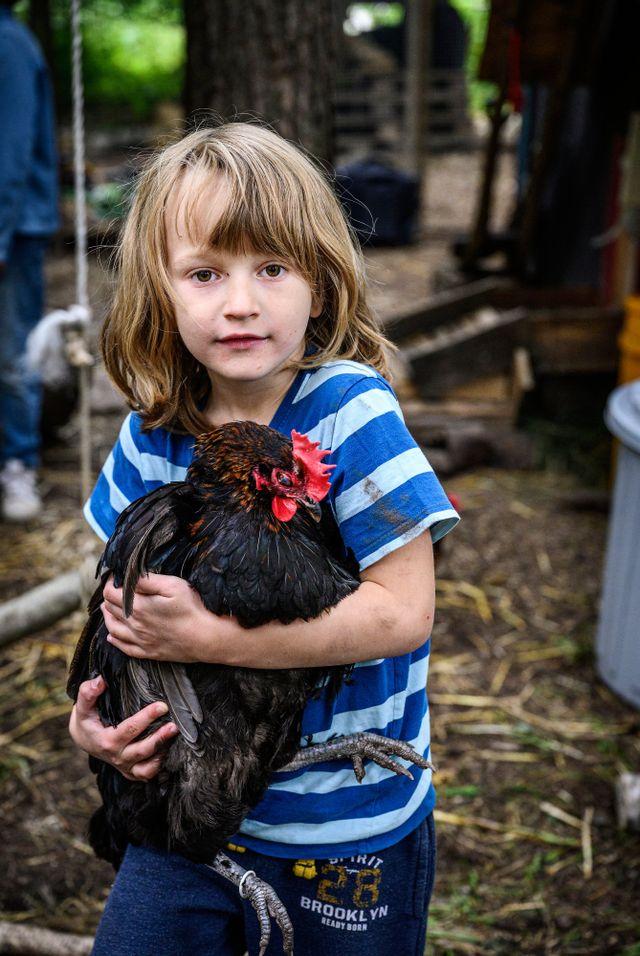 Kaspian, 6,  plockar upp hönan Söti. När man bär en höna är det viktigt att ha ett stadigt grepp om vingarna. Samtidigt får man inte hålla för hårt.