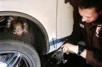 En koala som klamrat sig fast bakom hjulet på en bil i Adelaide kunde räddas efter en 16 kilometer lång bilfärd.