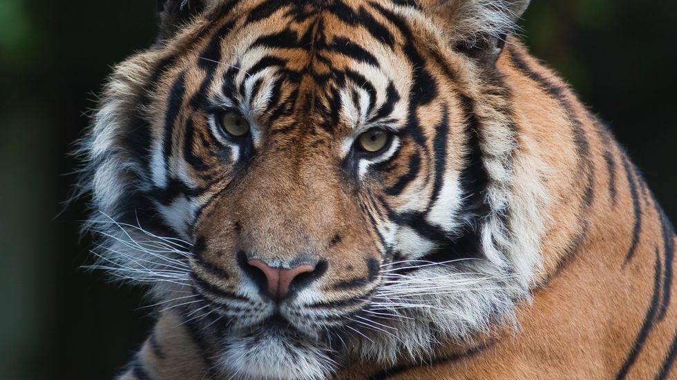 En annan svensk tiger.