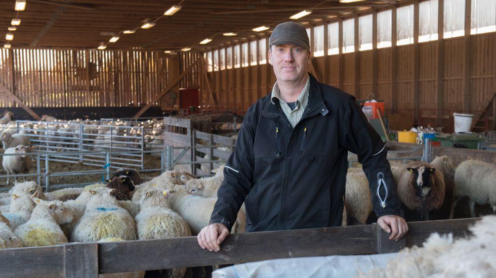Fårbonden Tomas Olsson tycker det är synd att låta ullen gå till spillo. Det mesta av den ull som produceras i Sverige förstörs.