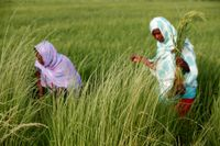 Medlemmar i en senegalesisk grupp med kvinnliga jordbrukare.