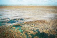 Algblomning i Sargassohavet.