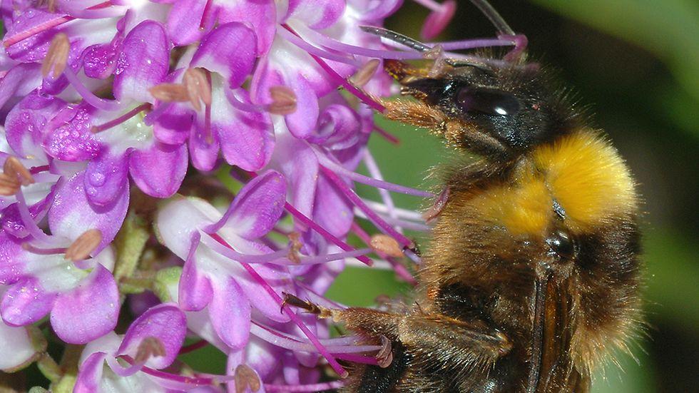 Sydsnylthumla (Bombus vestalis).
