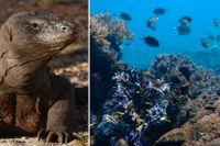 En komodovaran och havsliv utanför Komodoön.