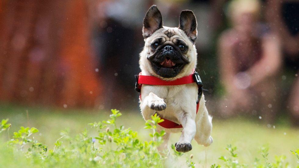 Två hundar i Hongkong har testats positiva av nya coronaviruset. Hunden på bilden har ingen koppling till artikeln.