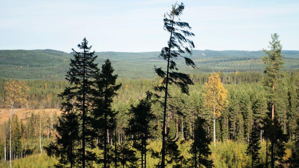 Fler miljö- och naturorganisationer kräver utökat skydd för den svenska skogen. Arkivbild.