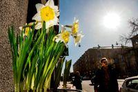 Solen och värmen sprider vårkänslor över Stockholm. SvD:s fotograf Tomas Oneborg gav sig ut på stan för att fånga våren innan köldgraderna drar in i helgen. Här syns nyutslagna påskliljor i Vasastan.