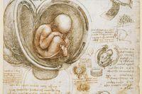 Leonardo da Vincis studie av ett foster i livmodern från cirka 1510–1513.