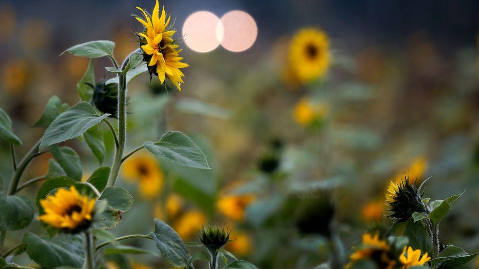 Blommor på marker som annars ligger i träda ska locka tillbaka bina.