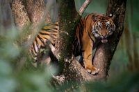 Sumatratigern är utrotningshotad och står nu inför ännu ett stort problem – brist på mat i Indonesiens djurparker. Arkivbild.