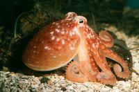 Bläckfisken visar tecken på en intelligens som överträffar den man finner hos många ryggradsdjur.