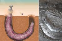 Till vänster bild på en så kallad penis-orm, till höger ett fossil av samma varelse.