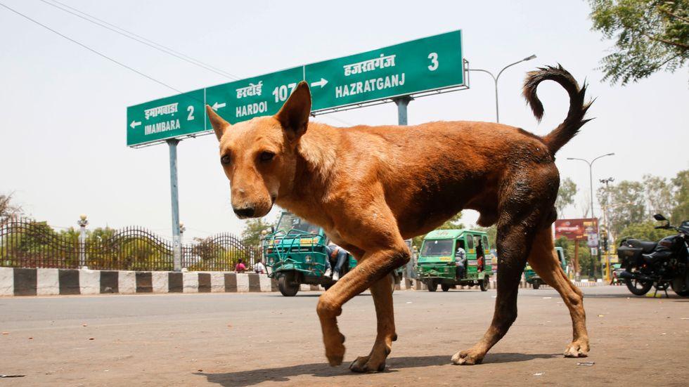En herrelös hund i Lucknow i Uttar Pradesh i Indien. Det är dock inte känt om just denna hund har varit inblandad i några av de dödliga attackerna mot barn i delstaten.