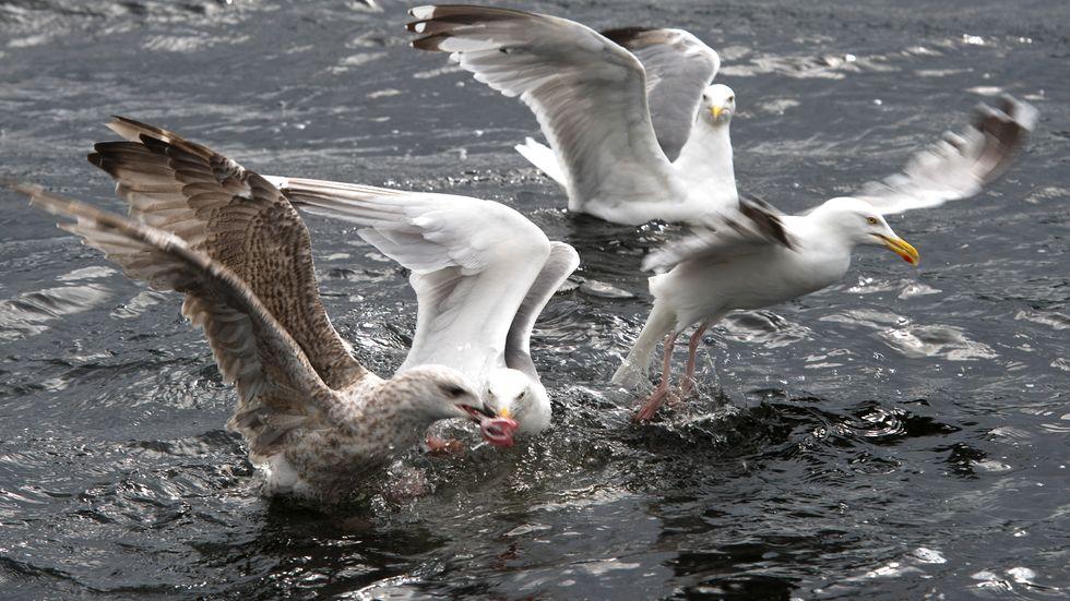 Måsarna får vakta sina ägg noga i Olofström. Arkivbild.