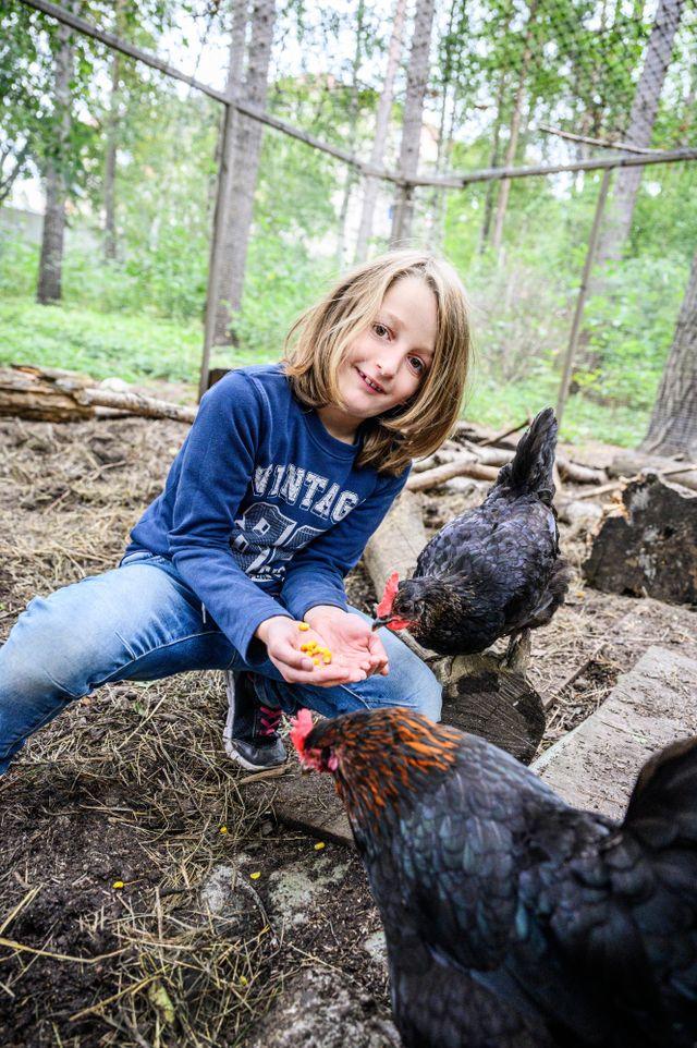 Milan, 8, matar några av hönsen med deras favoriträtt - majs.