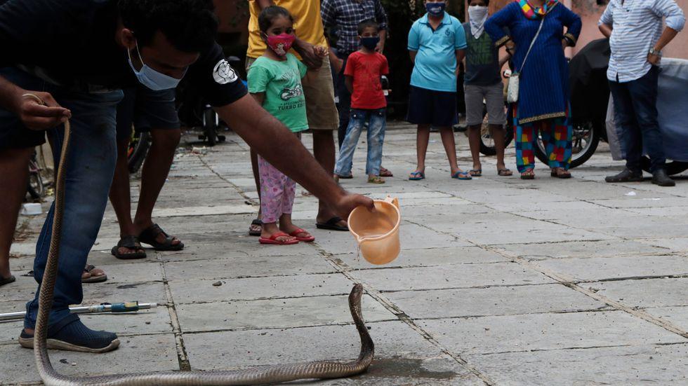 En vild kobra får vatten i centrala Bombay (Mumbai). Arkivbild.