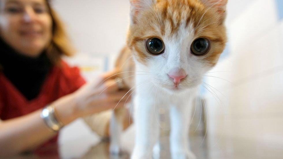 Katten Oscar på SPA:s djurhem i Marseille. Arkivbild.