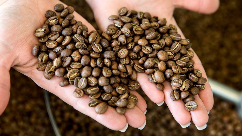 Frosten har påverkat kaffeplantagerna i Brasilien och årets skörd väntas bli mycket mindre än fjolårets. Arkivbild.