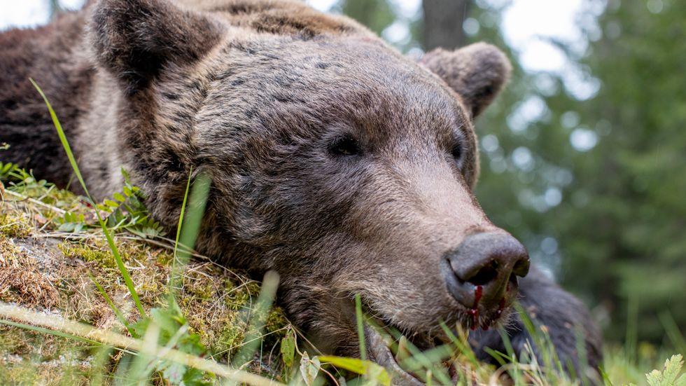 Totalt 501 björnar får skjutas under årets licensjakt. Bilden visar en fälld björnhane på 124 kilo som sköts i Gävleborgs län i fjol. Arkivbild.
