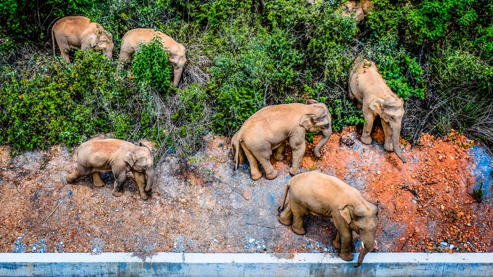 15 elefanter har skapat rubriker i Kina och världen över den senaste tiden.