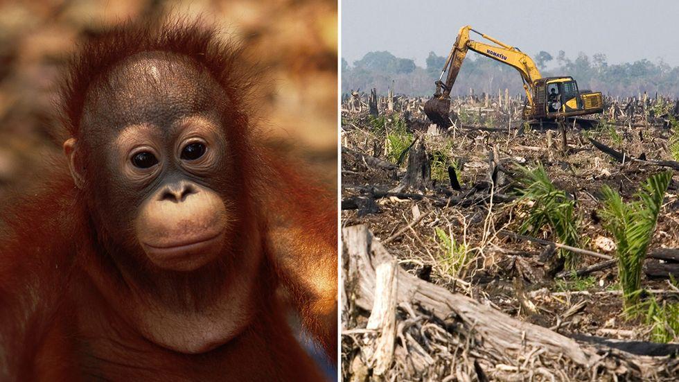 Palmoljeplantager i Indonesien tränger ut regnskogen vilket hotar bland annat orangutangerna som lever där.