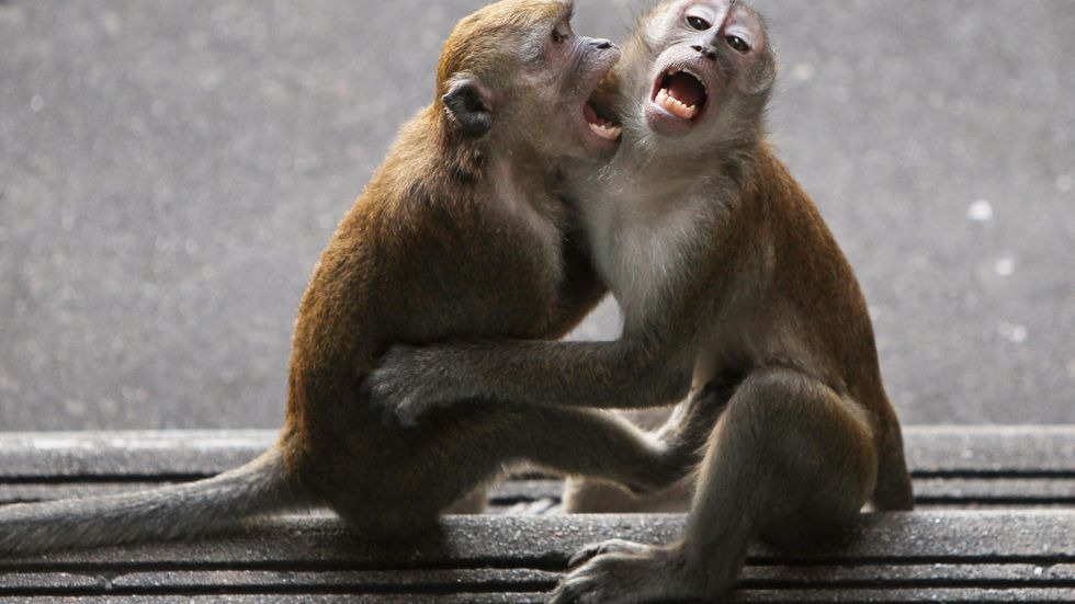 Långsvansade makaker. Arkivbild.