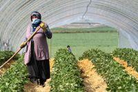 Ett jordgubbsplantage i Tyskland 2020. Kvinnan på bilden har inget med artikeln att göra.