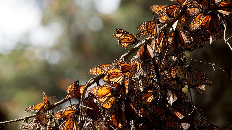 Monark (Danaus plexippus) är en brunsvartmönstrad orange fjärilsart som först beskrevs av Linnaeus 1758. Partier är av helt annan art.