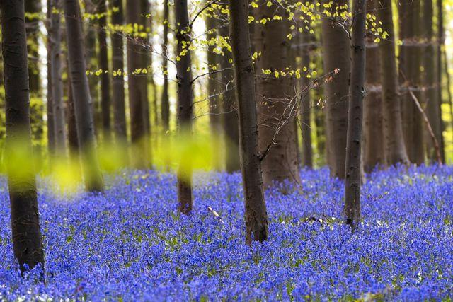 Skogen Hallerbos var tidigare en del av Europas största bokskog. Klockhyacinterna har funnits här i hundratals år.