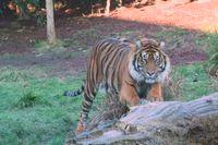 Sumatratigern på bilden heter Asim och lever i fångenskap på London Zoo.