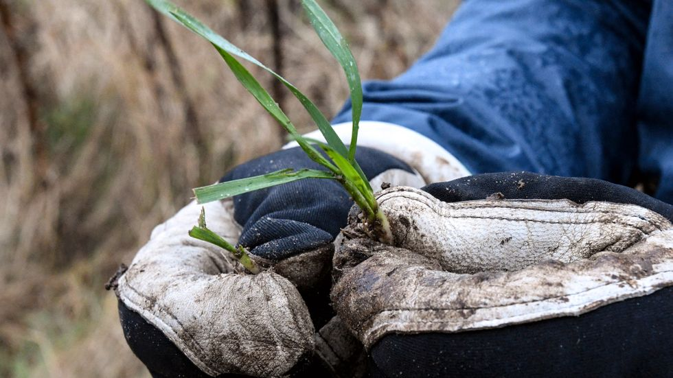 Av gässen avbetat höstvete (till vänster) och en normalhög planta till höger. Vetet klarar sig om det är lite avbetat, men när det är blött ute kan hela plantan dras upp och då är den förlorad.