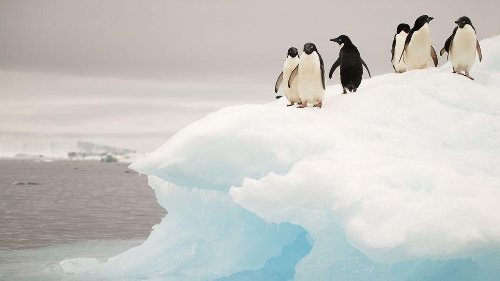 Pingviner på isberg.