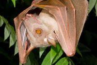 Hypsignathus monstrosus.