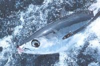 3. Långfenad tonfisk