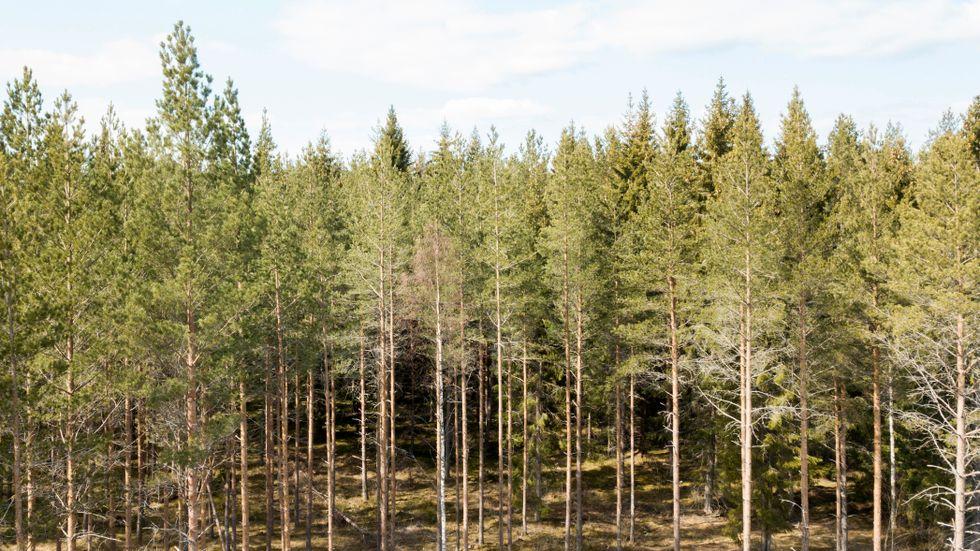 Skogsavverkningen ökar snabbast i Sverige.