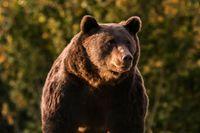 Den stora brunbjörnen Arthur fotograferad 2019 i Rumänien.