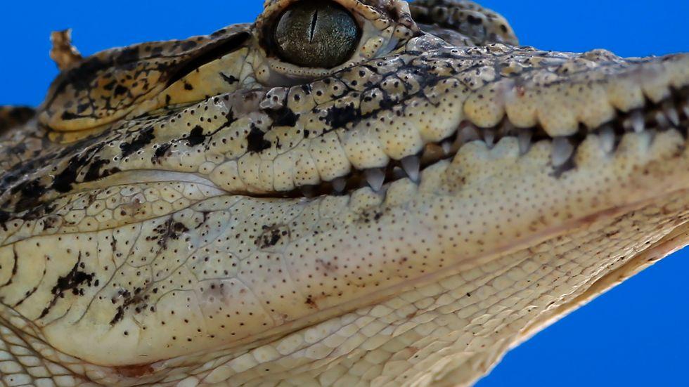 En krokodil har stenats till döds på en djurpark i Tunis. Krokodilen på bilden har inget med artikeln att göra. Arkivbild.