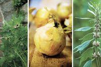Bolmört, lök och hjärtstilla är tre växter som ansågs besitta speciella krafter  – berusande, läkande eller lugnande.