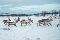 Samer som äger renar har sina samebyar på mer än en tredjedel av Sveriges yta.