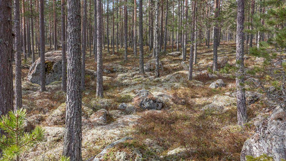 Gallrade tallar på tillväxt i Hälsingland.