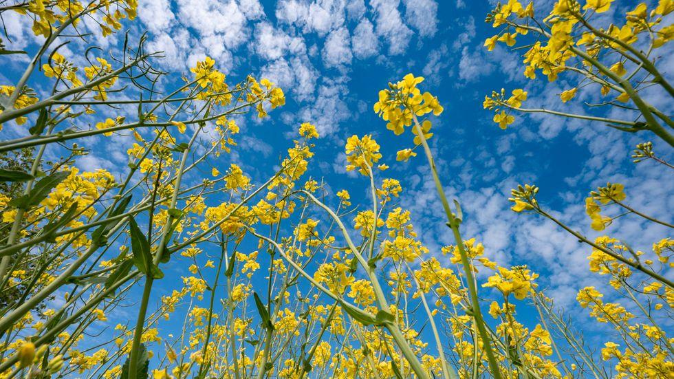 Biodrivmedel från bland annat raps och flera andra grödor godkänns inte bland de investeringar som EU vill klassa som klimatmässigt hållbara i sin så kallade gröna taxonomi. Arkivfoto.