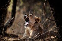 I nationalparken Gir finns lejon – och en man som ska rösta i valet i Indien.