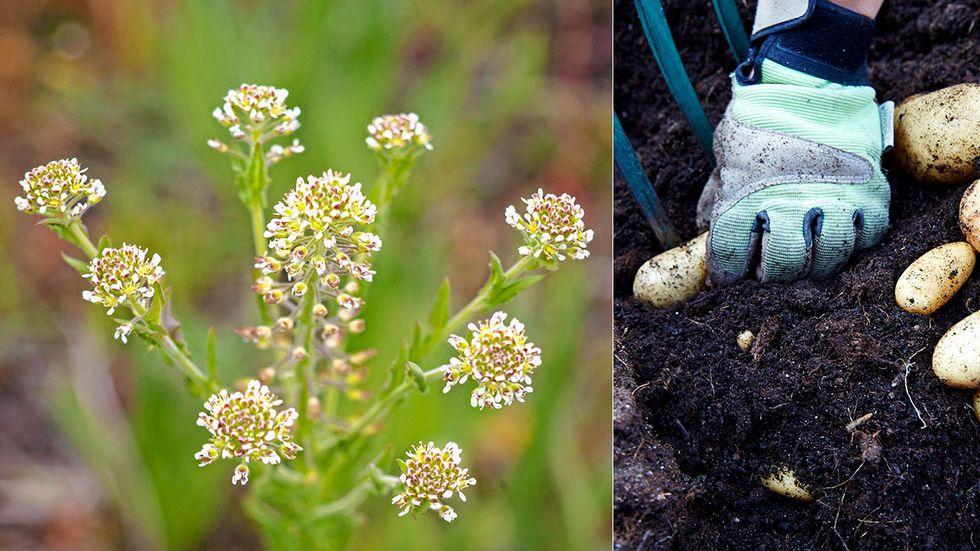 Gensaxen Crispr/Cas har använts i svensk forskning kring bland annat fältkrassing och potatis.