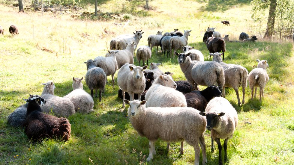 70 procent av lammköttet som konsumeras i Sverige är idag importerat, skriver artikelförfattarna.